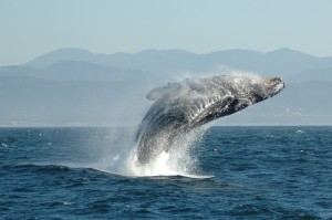 Happy Humpback Whale Says Bye-bye F-word
