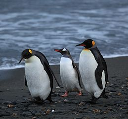 Penguins Walking On Beach tagged for reused on Google Images
